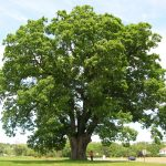 Keeler_Oak_Tree_-_distance_photo,_May_2013